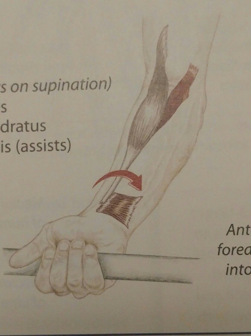 Forearm Pronation Antagonists On Supination Pronator Teres