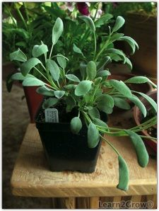 10 Herbs to Grow Indoors ... Basil, Parsley, Chives, Mint, Lavender ...