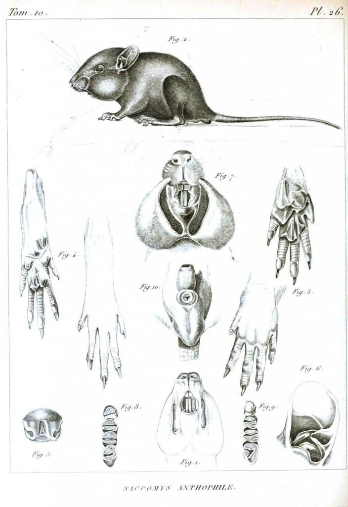 Animal - Woodland - Mouse, anatomy | Art: Scientific Illustrations ...