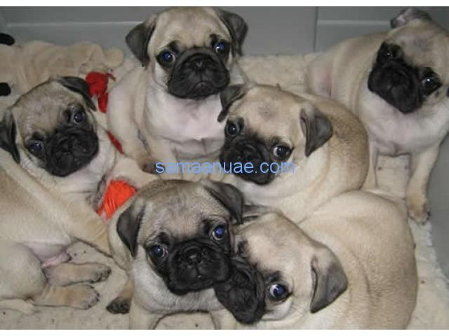 Fawn Pug Puppies Pug Puppies For Sale Pug Puppies Pugs