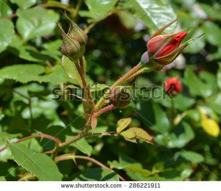 rosebuds - stock photo