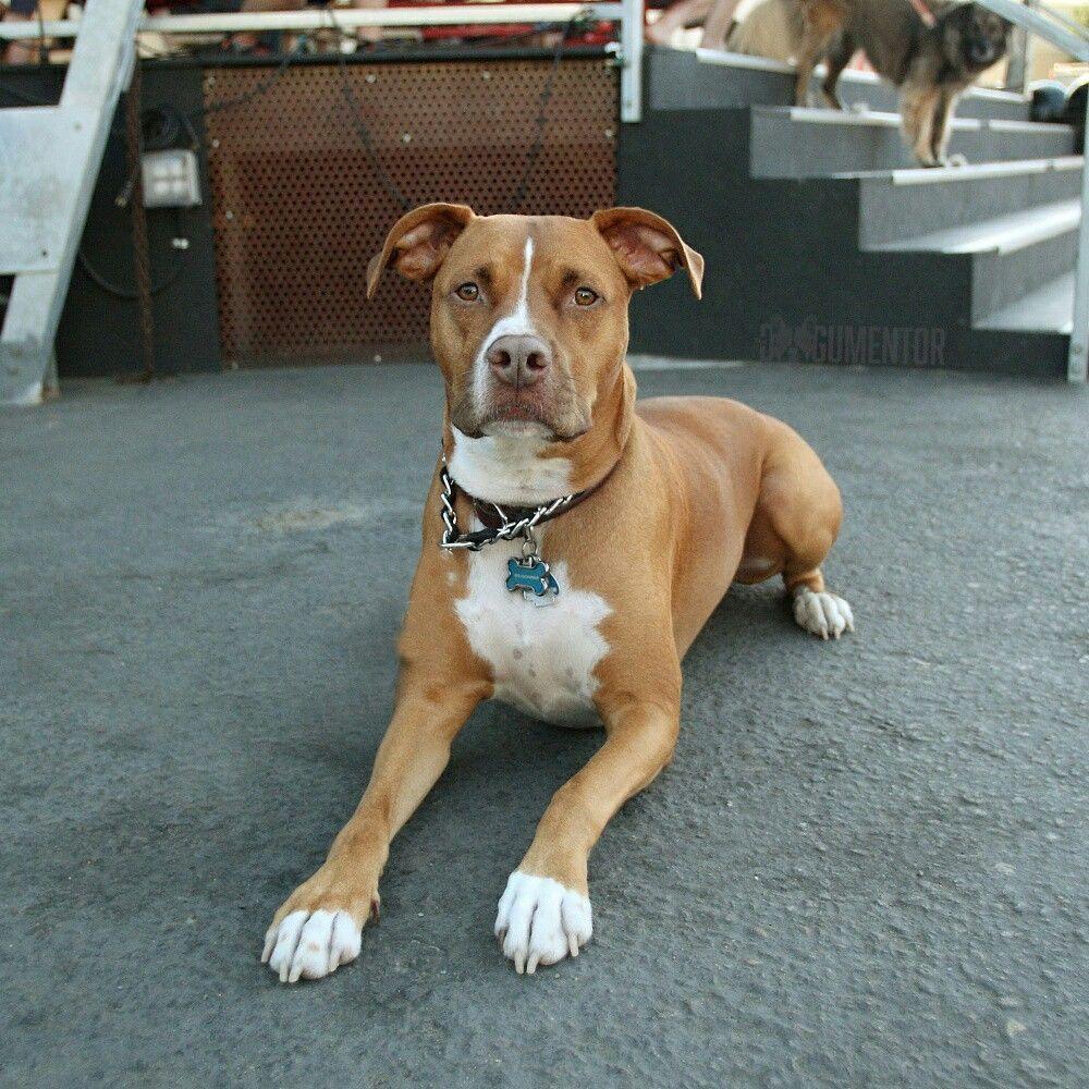 Boxer Puppy Rescue San Diego