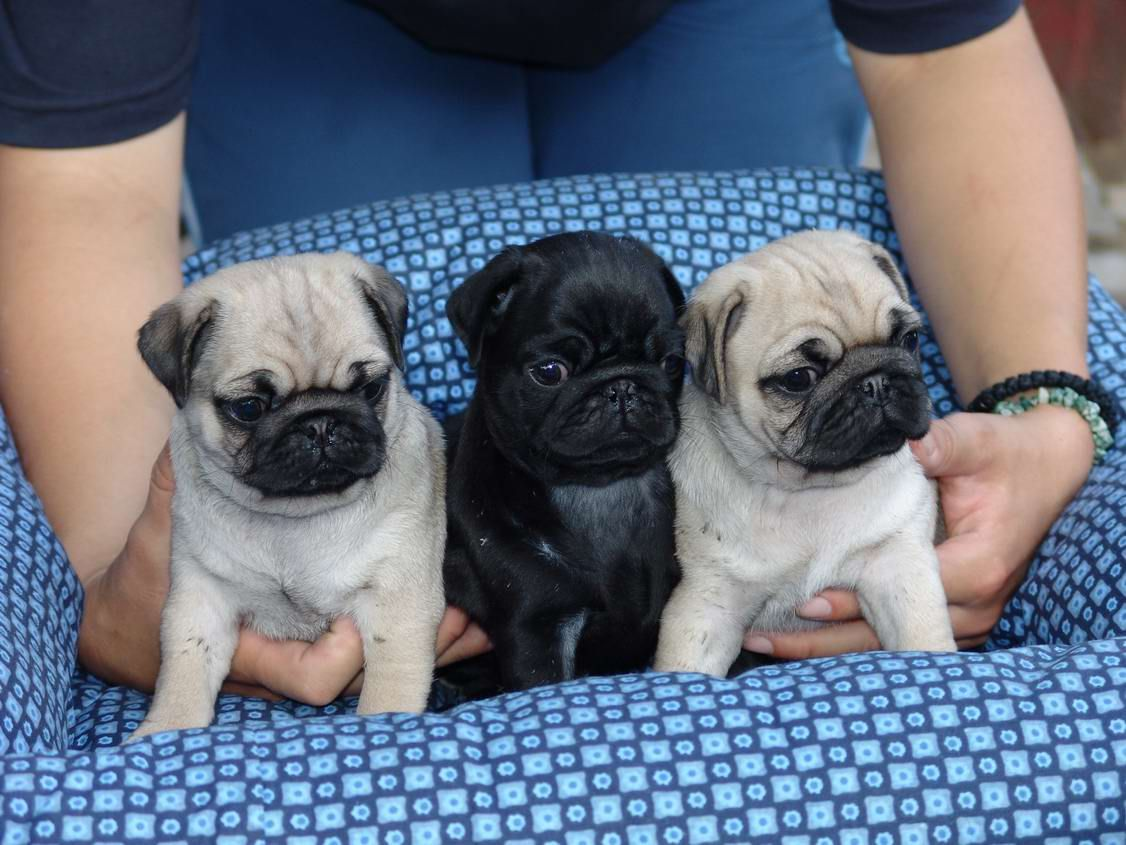 I want the black one! Baby pugs
