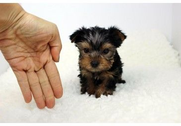 Snickers Teacup Yorkie Available In Los Angeles