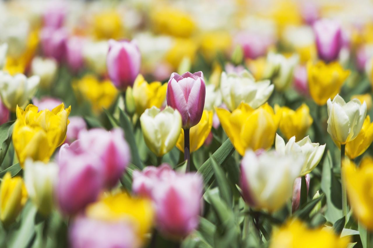 19 Facts Every Tulip Lover Should Know In 2020 Tulips Spring Tulips Tulips Meaning