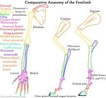 Canine Pelvic Limb Anatomy By Leonca On Deviantart Dog Anatomy