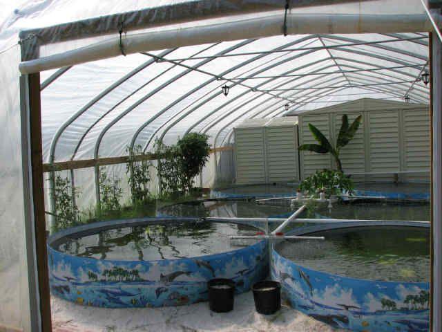tilapia farm ~ interesting... Fresh fish protein available ...