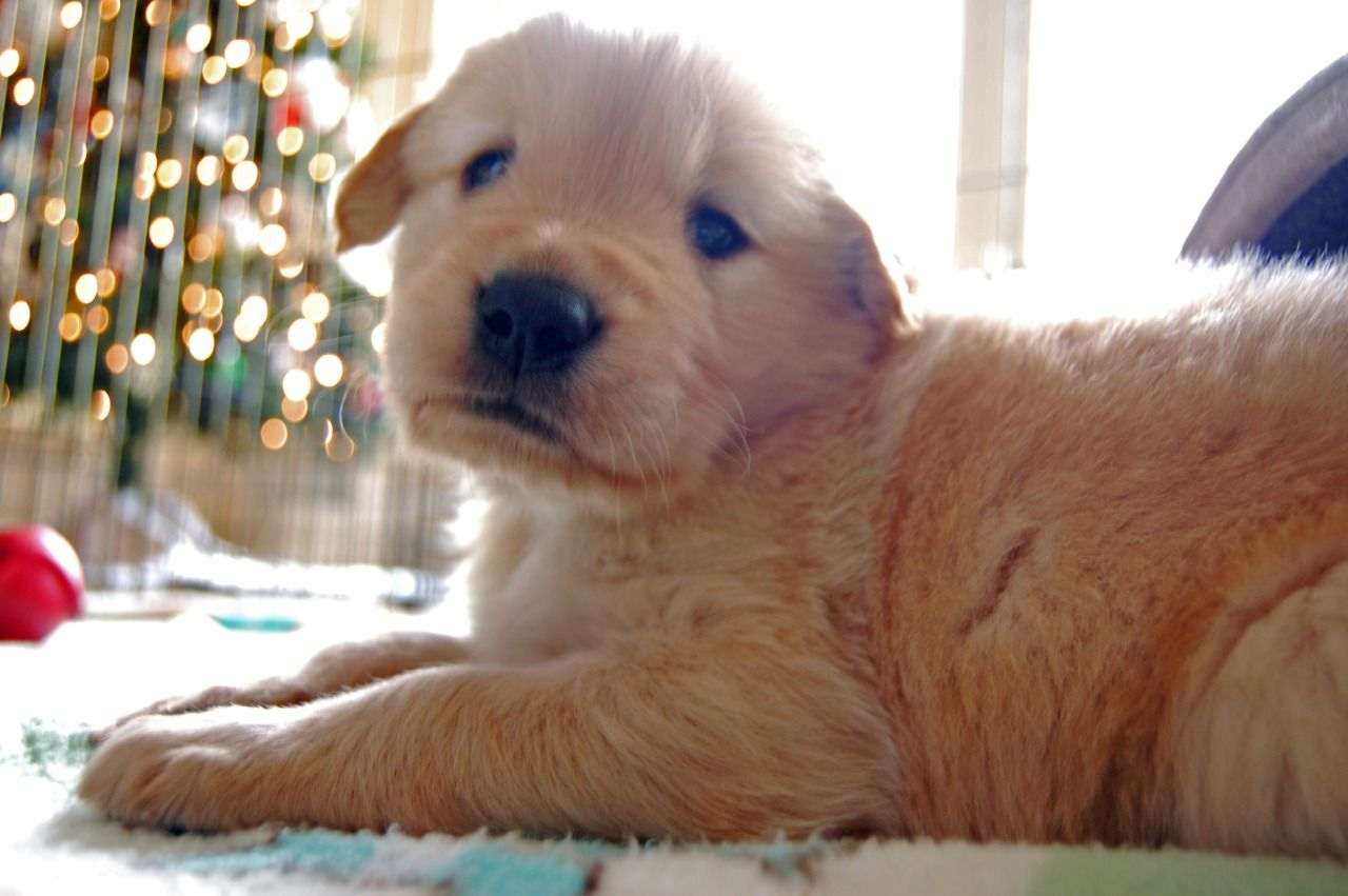 One Gift A Thousand Of Fantasies Cute Dogs Old Golden