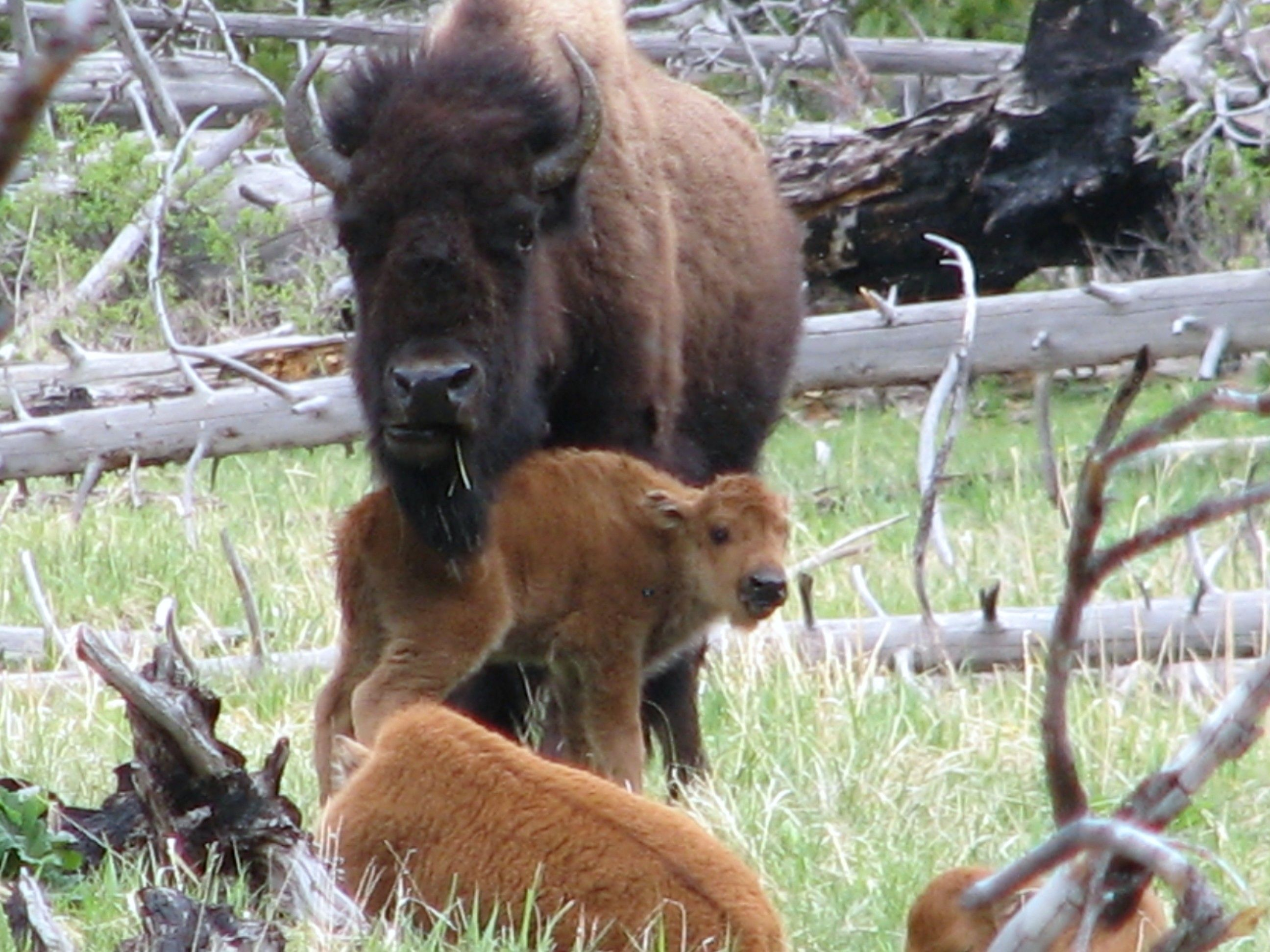 """Bison """"nursery's"""" will be in full swing at in the Lower"""
