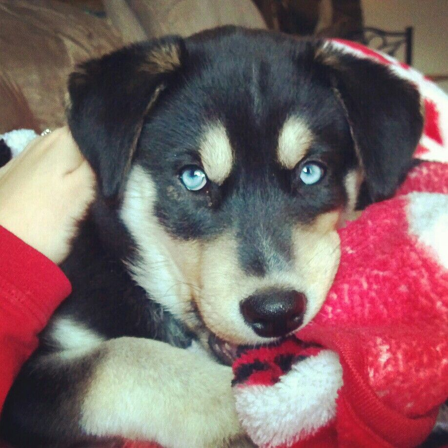 Puppy Aliza Blue Eyed Mixed Beauty Lab Husky Mix Labsky Lab Mix