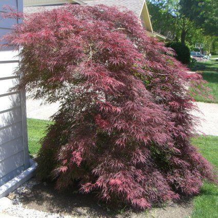 Dwarf Japanese Maple Ornamental Trees Trees To Plant Garden Trees