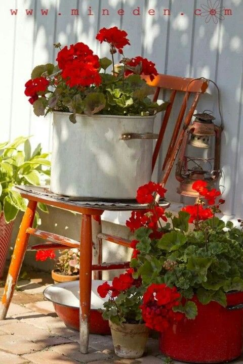 Red geraniums in stock pot