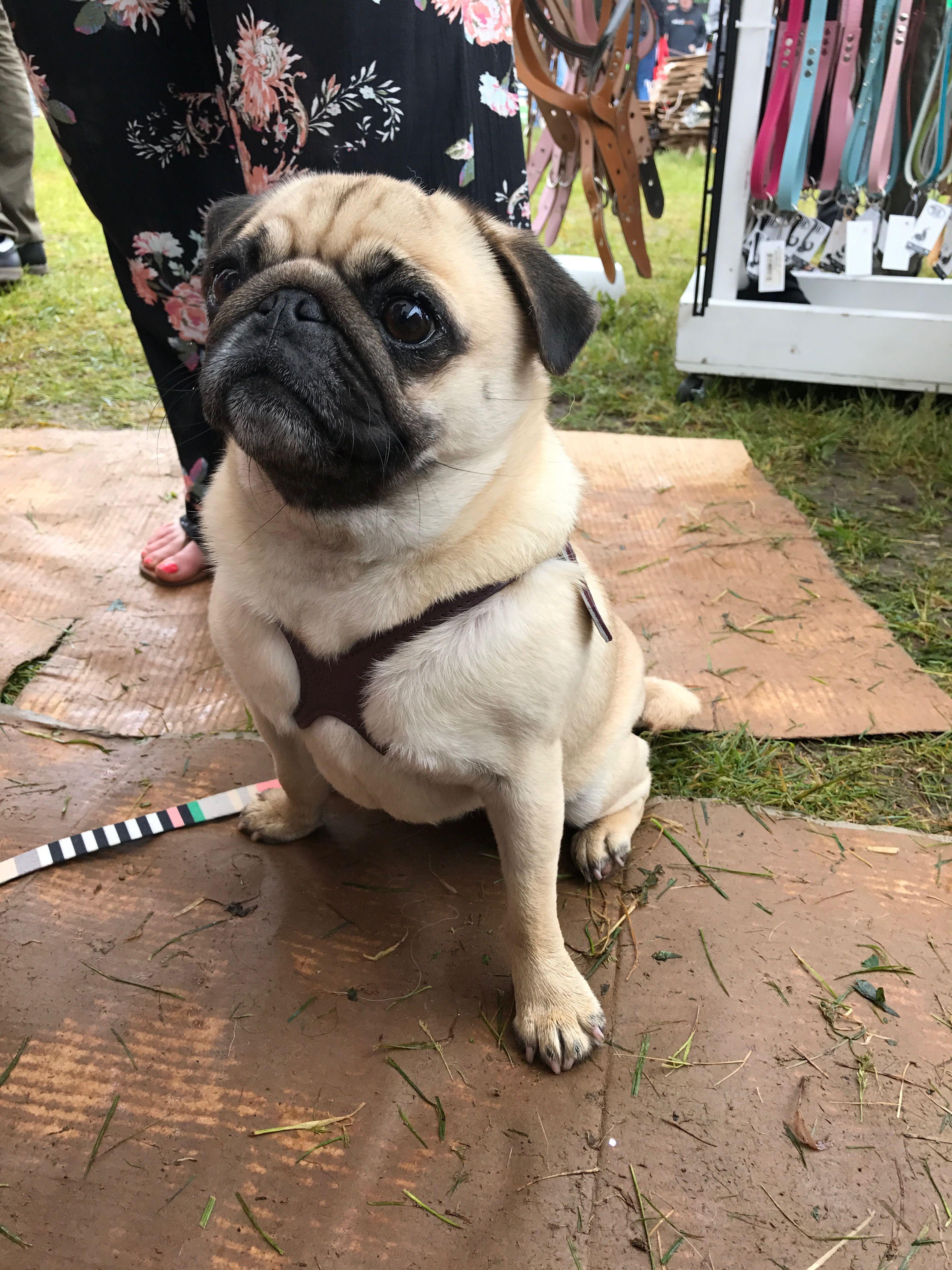 Pugs Love Their Buddy Belt Harnesses Premium Black Seen Here