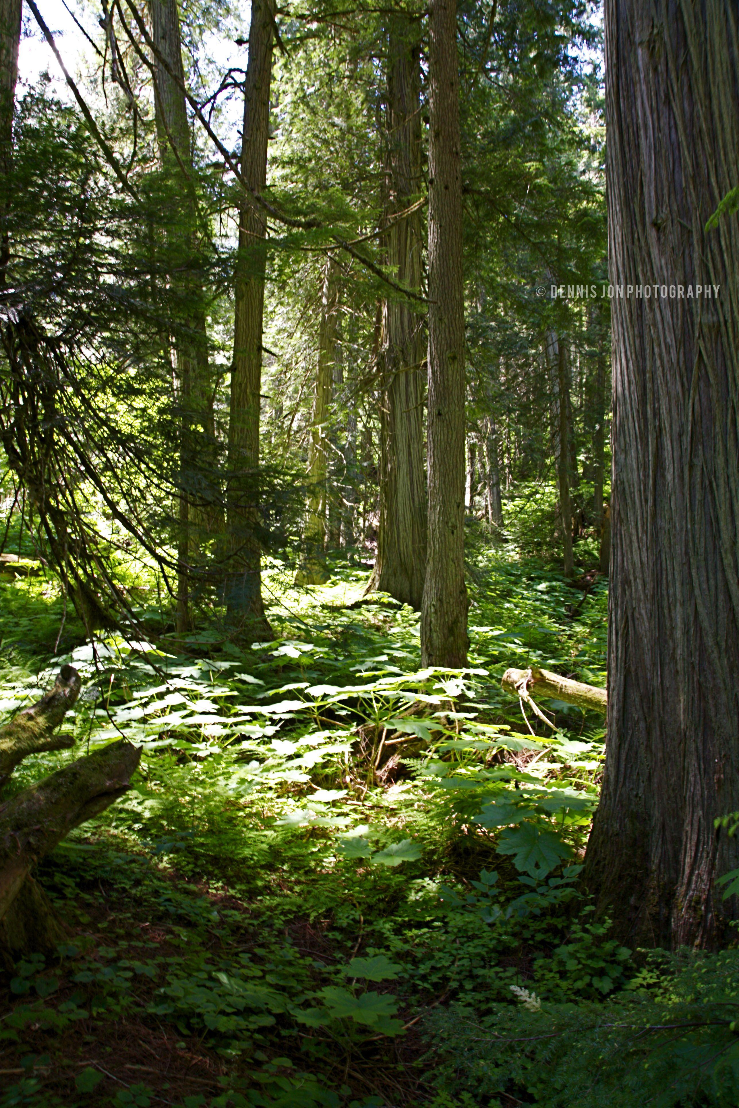 """Cedar Forest"" British Columbia,Canada visit dennisjonphotography taken by Dennis Kahl"