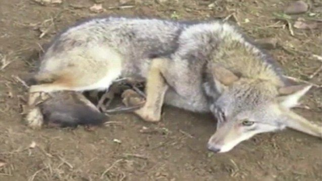 Wolf S Den Dog Coats