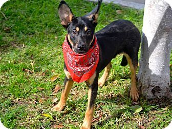San Diego, CA - Australian Kelpie Mix. Meet Robin a Puppy for Adoption.