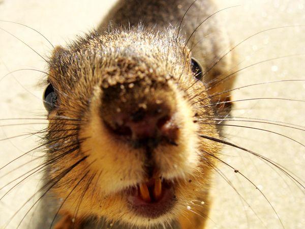 Squirrel teeth never stop growing. Gnawing keeps squirrels