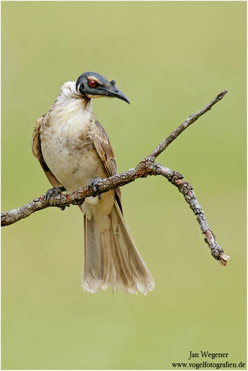 The Noisy Friarbird - Philemon corniculatus, is a large member of the honeyeater family. This species is found in eastern and southeastern Australia.