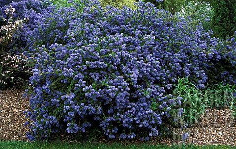 dublin ceanothus concha california lilac whole plant regency centers pinterest. Black Bedroom Furniture Sets. Home Design Ideas