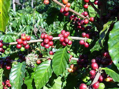 Arabica Coffee Plant Coffee Plant Raw Coffee Beans Coffee Smoothies