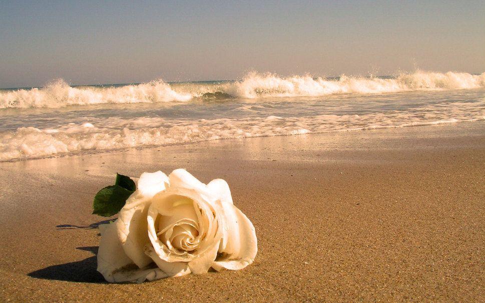 Resultado de imagem para rosas brancas no mar