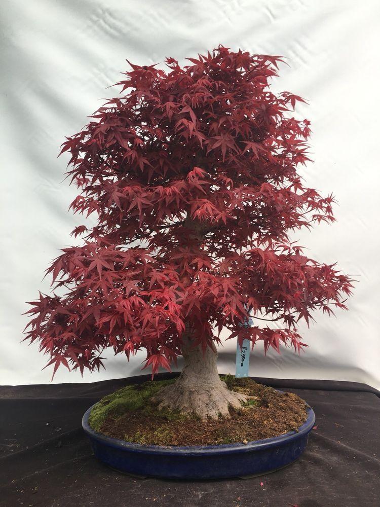 Deshojo Red Maple Bonsai Red Maple Bonsai Maple Bonsai Bonsai Tree