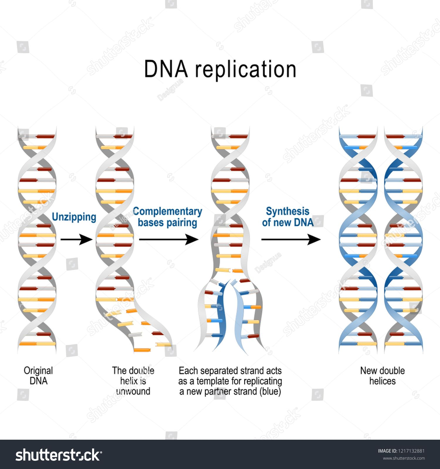 DNA replication. Steps. double helix is unwound. Each