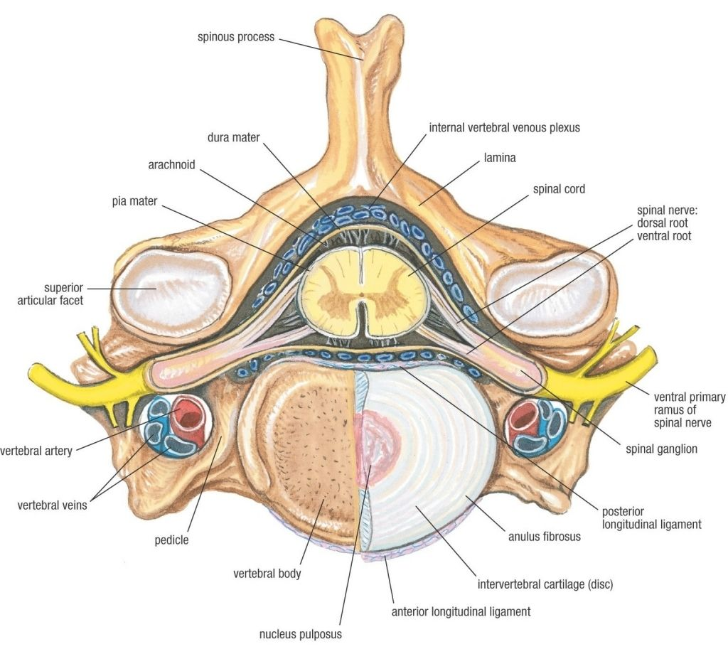 Anatomy Of Human Vertebrae Anatomy Of Human Vertebrae Spinal Nerve Anatomy Diagram Spinal Cord