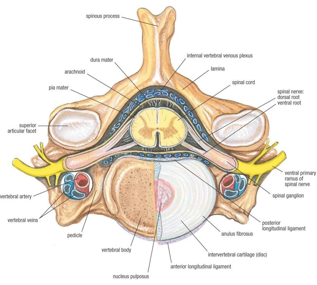 Anatomy Of Human Vertebrae Anatomy Of Human Vertebrae Spinal Nerve Anatomy Diagram Spinal Cord