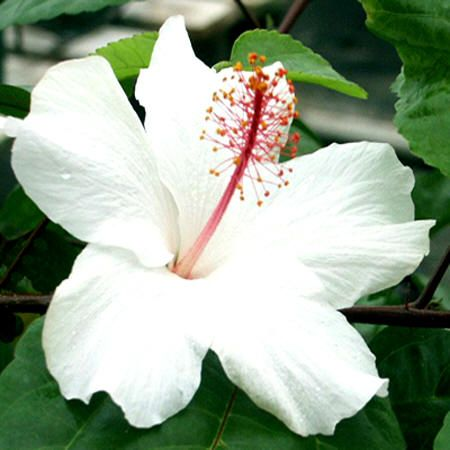 Hibiscus Fragrant Species Plants For Sale Hibiscus Flower Drawing Hibiscus Flowers Hibiscus
