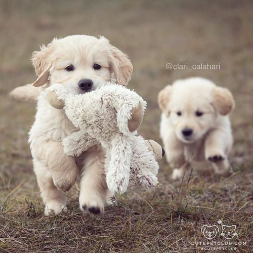 Fluffy Golden Retriever Puppies With Cuddly Toy Cute Animals