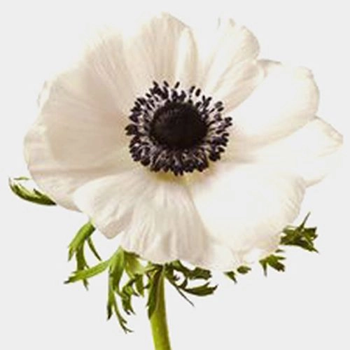 Pin By Victoria Clevinger On Flower Ideas Fresh Wedding Flowers White Anemone Flower Wedding Flowers