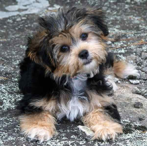 Poodle And Yorkie Mix Yorkie poodle mix puppies Dogs I