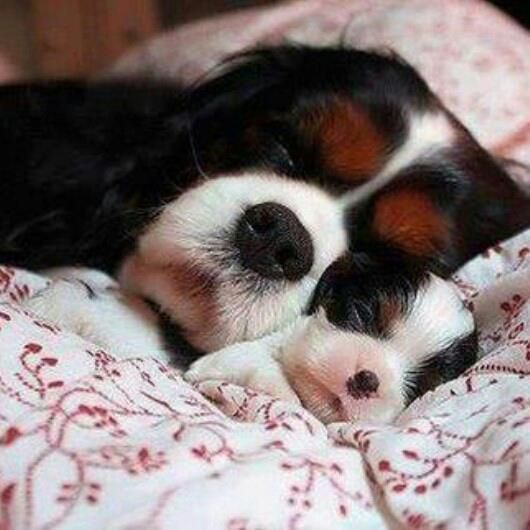 This might be the cutest thing I've ever seen Cavalier King Charles Spaniel #CKCS #Puppy #Dogs