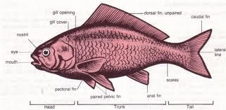 External anatomy of a fish   How to Fish Frogs Etc.   Pinterest ...