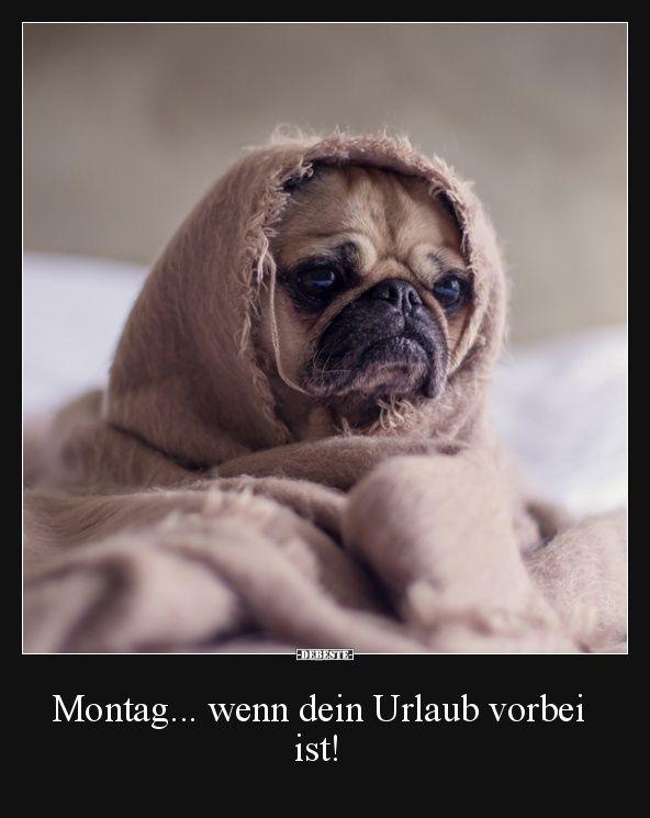 Montag Wenn Dein Urlaub Vorbei Ist Lustige Bilder Spruche Witze Echt Lustig Hund Funnies Urlaub Lustig Mops Hund