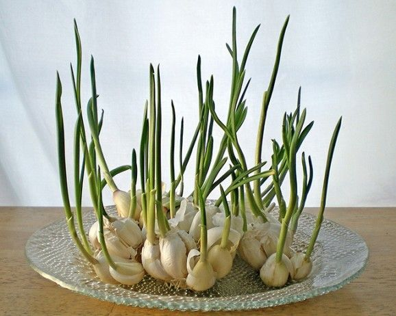 10 Water Regrown Veggies You Can Grow Right Now Growing Garlic Regrow Vegetables Garlic Sprouts