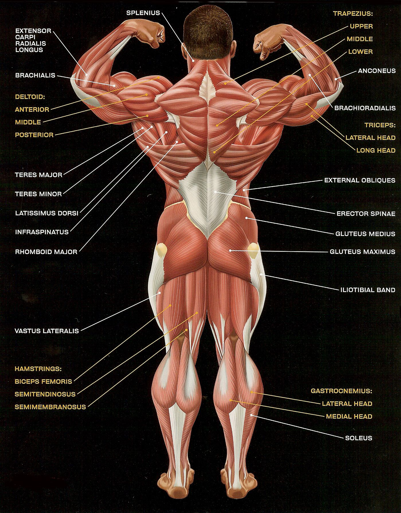 Musculuar Anatomy and Physiology 2 Here Kate, this guy is a little ...