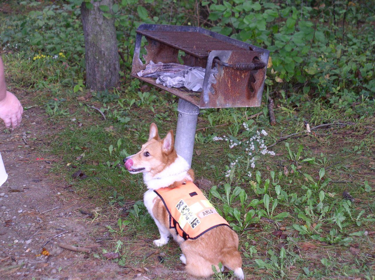Corgi Cadaver Dog Search And Rescue Dogs