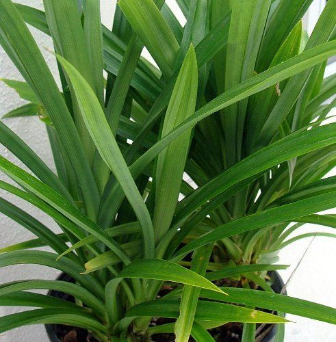 how to grow pandan leaves from seed