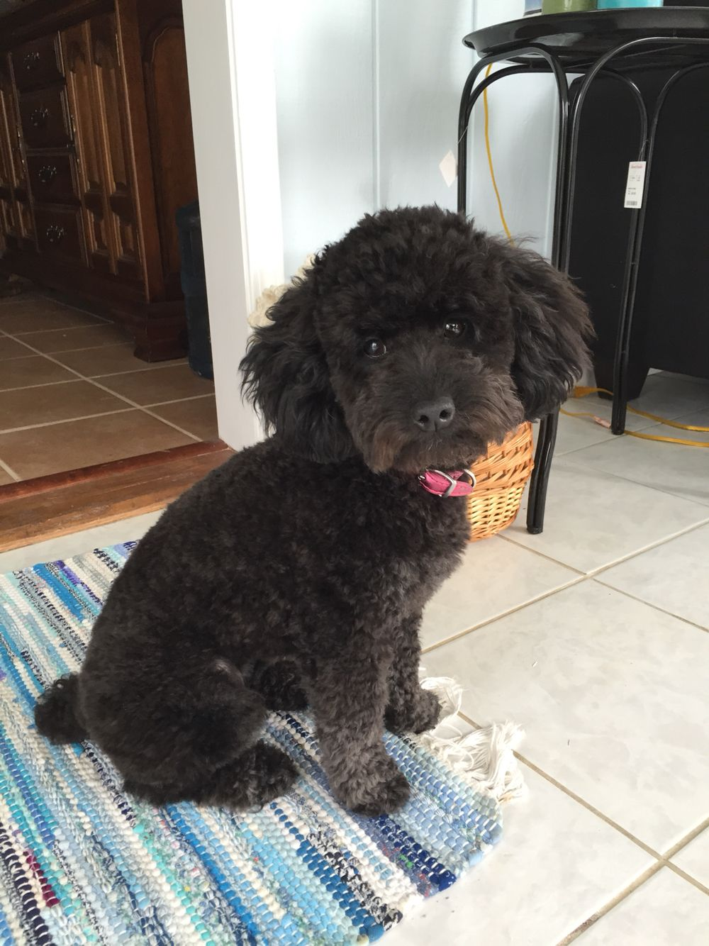 Our Toy Poodle Got An Adorable Teddy Bear Cut Today Lets Think