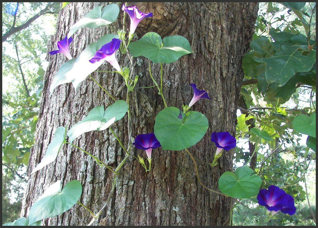 Morning Glory Climbing Tree Trunk Climbing Plants Plants Garden Trees