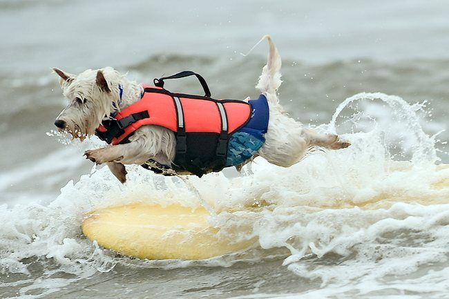 Surfing dogs in California:        They are so cute, man!