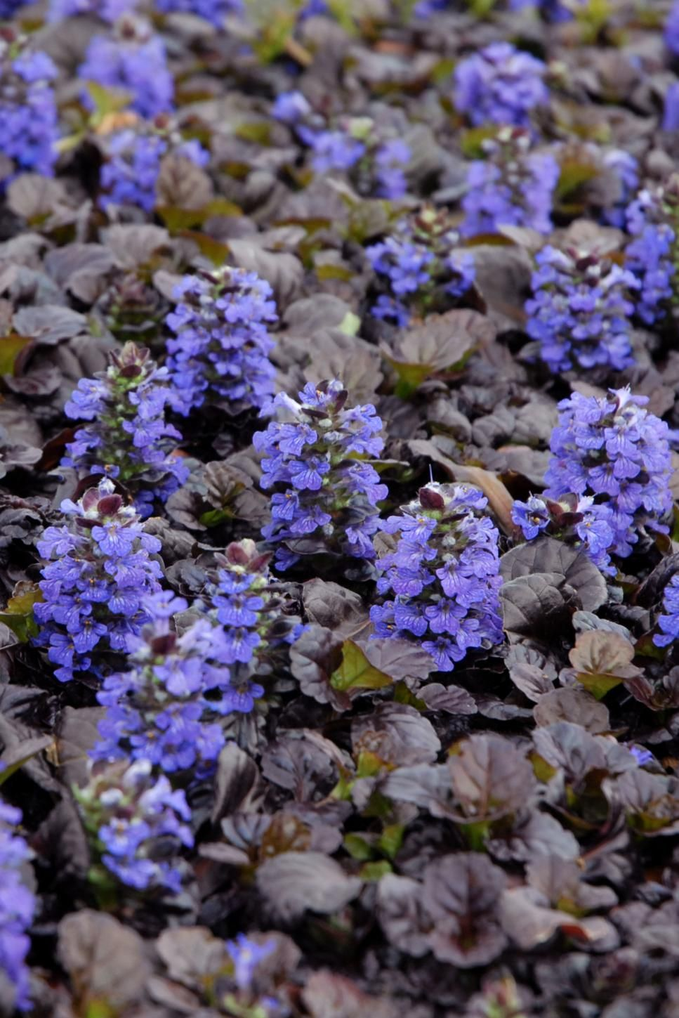 Perennial flowers for shade gardens shade perennials pinterest black scallop bugleweed ajuga dense groundcover topped with pretty purple blue flower spikes in spring zones 4 10 full shade to full sun izmirmasajfo