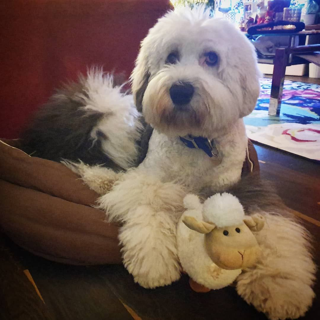 Holistic Medicine Care and Options for Dogs and Other Animals Aida is herding her sheep  #doggydaycare #oldenglishsheepdogsofinstagram #bobtaildog #bobtailsofinstagram...