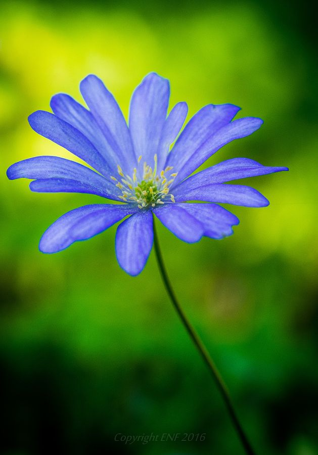 ~~On the spring meadow | Anemone blanda | by edithnero~~