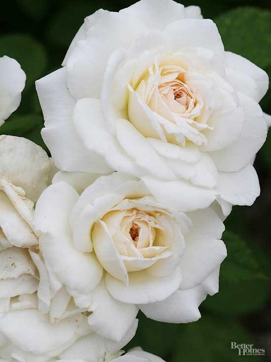 White Roses for a Crisp, Classic Garden Look   Shrub, Flower power ...