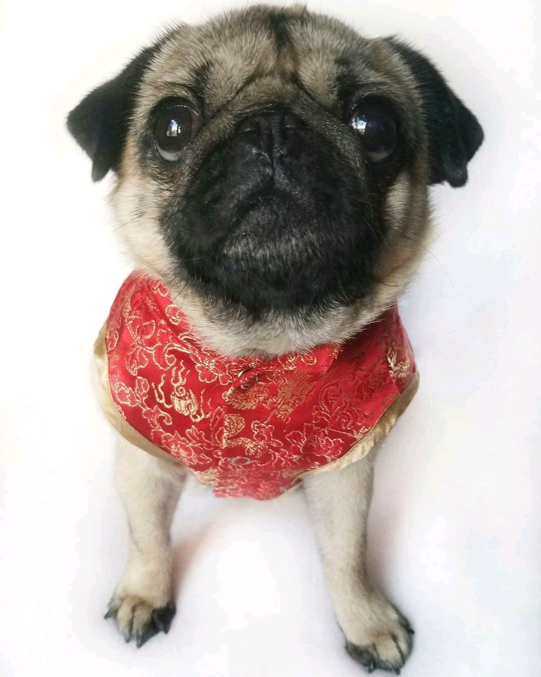 Thank To Candy Pugs Pug Cutie Pies Cute Pugs Baby