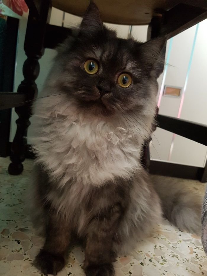 Have You Seen Flurry A Missing Persian Cat Lost At Yishun Name