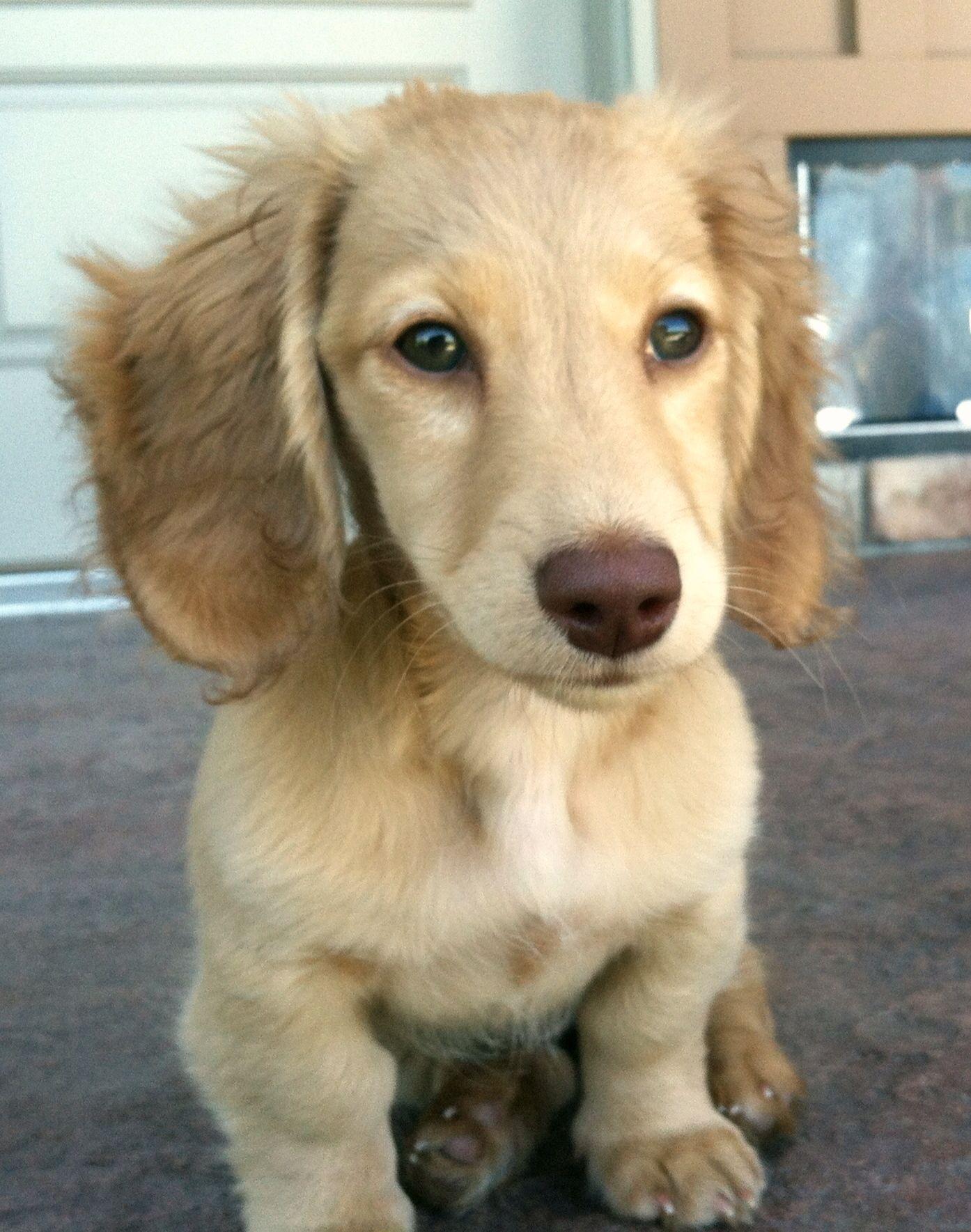 Willa Chocolate Based Cream Longhair Dachshund Puppy Clever Dog